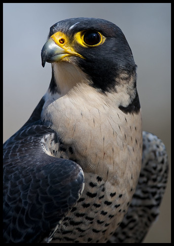 Peregrine falcon portrait 2