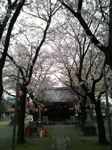 毎年恒例「千形神社」の桜