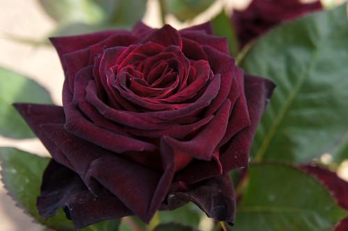 Rose Black Baccara バラ ブラック バカラ