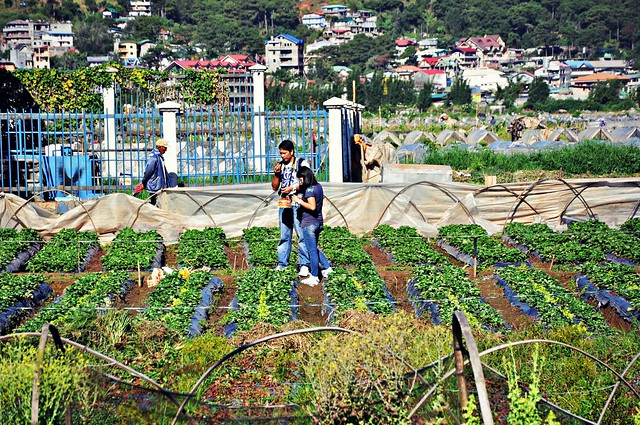 Strawberry Picking (in La Trinidad Valley)