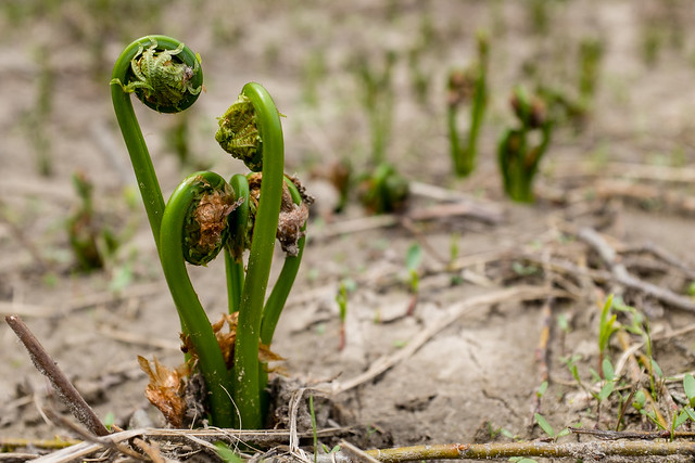 Foraging for Fiddlehead Ferns