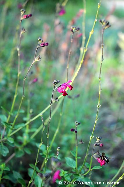 'Velvet Violet' salvia, 'Ruby Crystals' grass, bumblebee