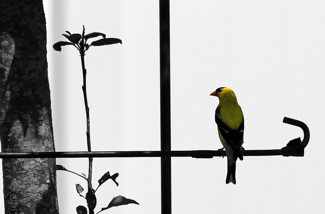 Yellow Finch and black and white