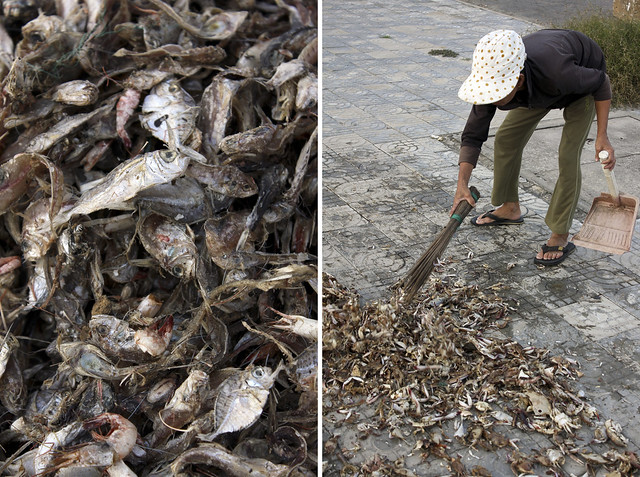 collecting dried fish