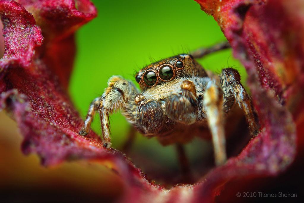 Adult Male Habronattus cognatus Jumping spider
