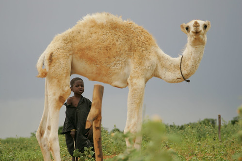 Toureg boy and young camel in Niger
