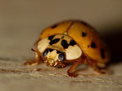 Lady Bug using a Canon SX30 IS & a Raynox M-150 IMG_2605
