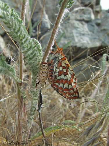 Newly emerged butterfly, Frank Church Wilderness, ID by Tatiana Gettelman