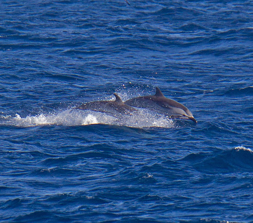 Striped Dolphin      Stenella coeruleoalba