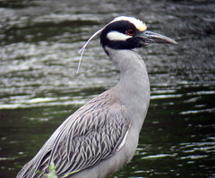 Yellow-crowned Night Heron, Denville, NJ, 5/22/2011