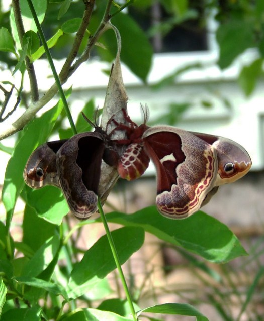 mating promethea moths 1