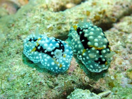 シモフリカメサンウミウシ
