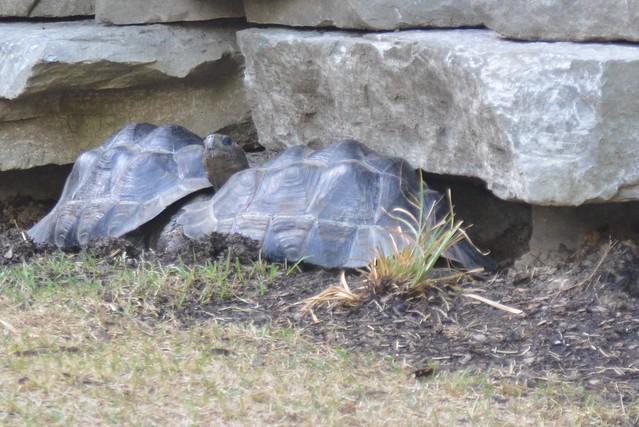 Galápagos tortoise Naptime