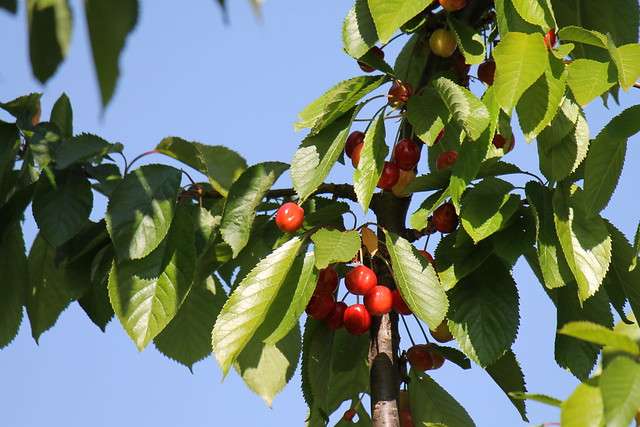 Garden cherries / Cerises du jardin