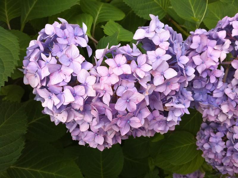 Some Hydrangea Love