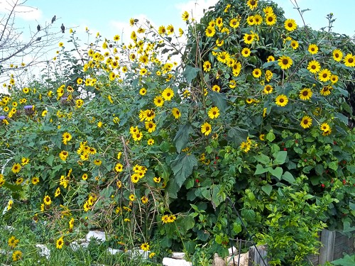 Sunflowers at Sunshine