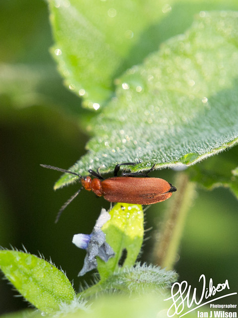 Cardinal Beetle – Daily Photo (15th July 2012)
