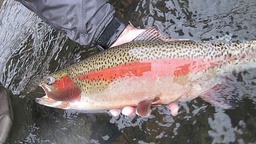 A Huge Lower McKenzie River Wild Rainbow Trout