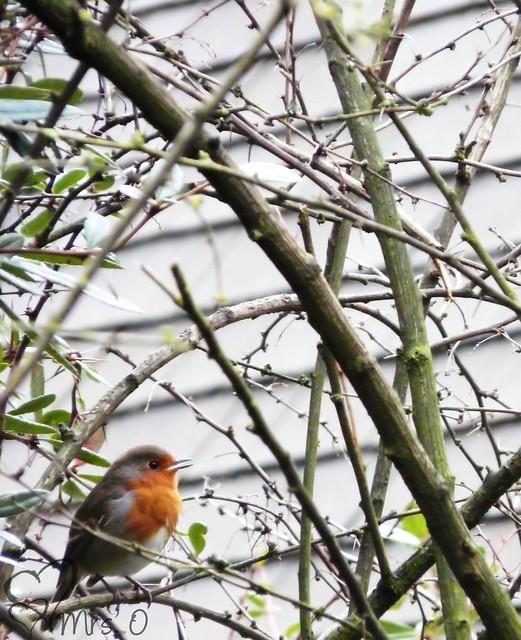 Tweeting Robin