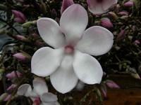 tulip magnolia branchese