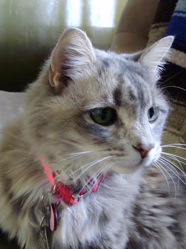my female cat a long hair grey tabby