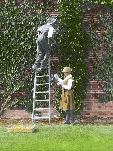 Harvesting Plums