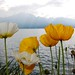 Poppies at Lake Geneva