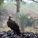 Vulture on the oyster shell mounds