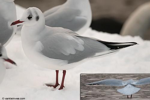 Black-headed Gull, adult, leucistic