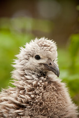 Midway Albatross chick - courtesy of KK+ on flickr