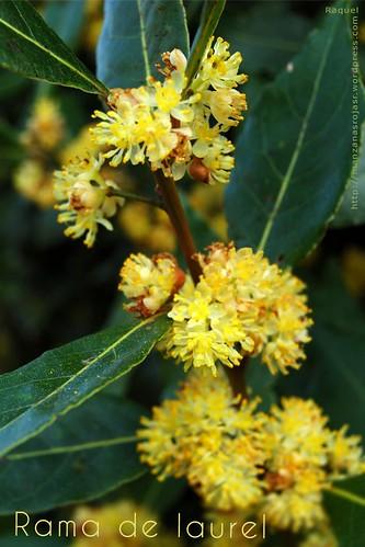 Rama de laurel florido