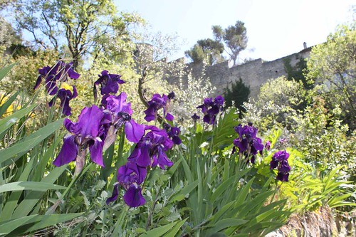 20110410_1442_Bonpas-purple-irises