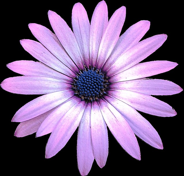 Purple Daisy flower clipart, 15cm embossed   This clipart ... (639 x 612 Pixel)