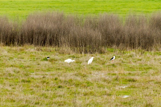 Black-winged Stilts & Cattle Egrets