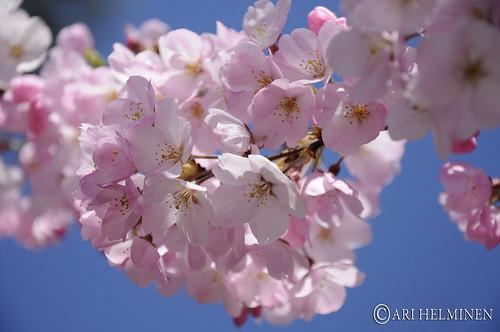 Sakura サクラ。東京 Tokyo