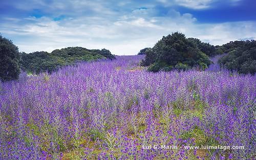 Campos de color morado - Purple Fields