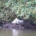 Mute Swan Penn nesting