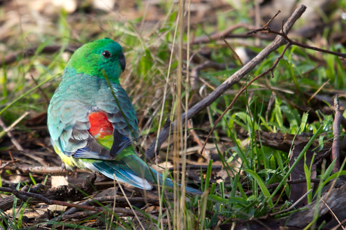 Red-rumped parrot 2012-06-11 (_MG_9086)