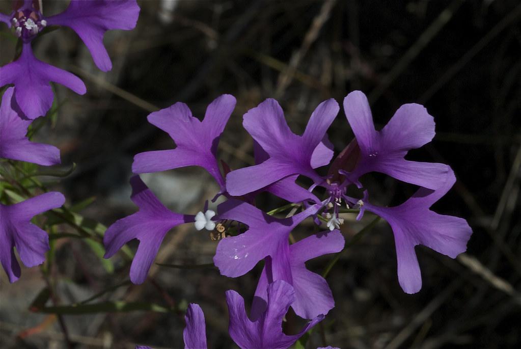 Clarkia Pinkfairies, Deerhorn, Ragged Robin