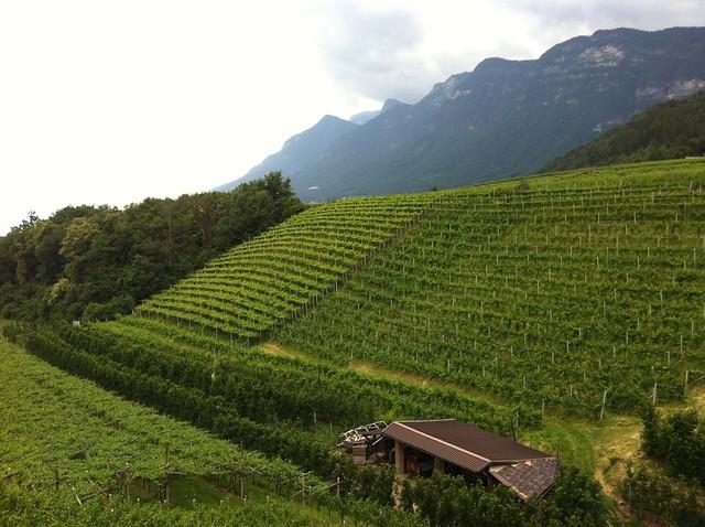 Rebanlagen/Weinreben in Kaltern, Südtirols Süden