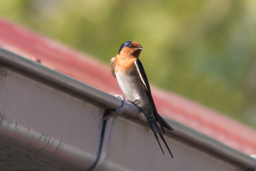 Welcome Swallow 2012-05-17 (_MG_7991)