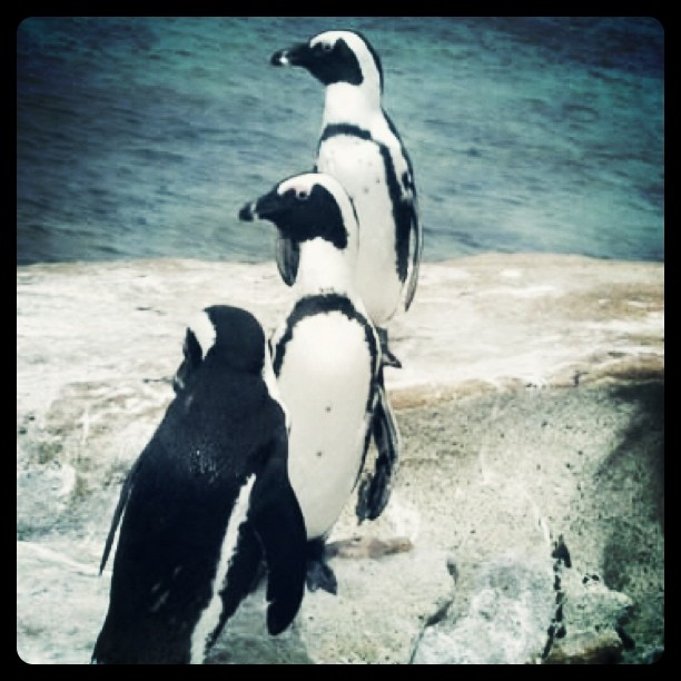 Penguins on the Cape of Good Hope