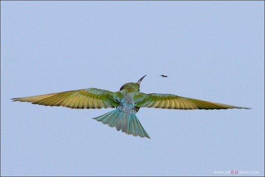 Blue Tailed Bee Eater hunting