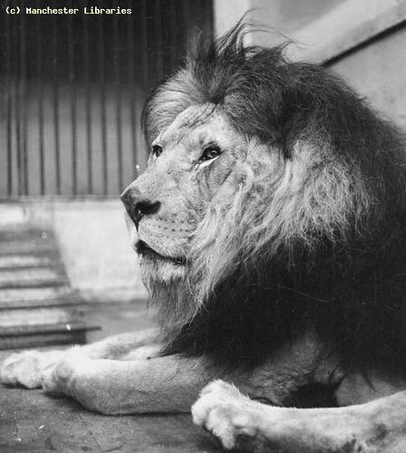 Lion at Belle Vue Zoological Gardens, 1946
