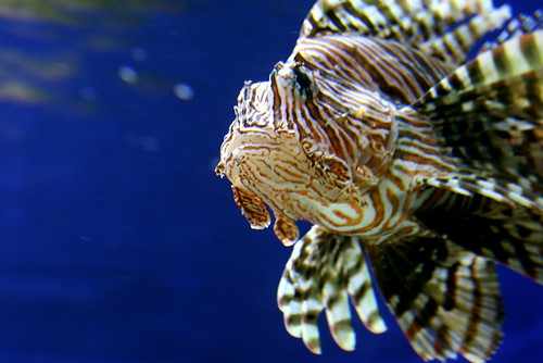 Lion Fish face by Scorpions and Centaurs
