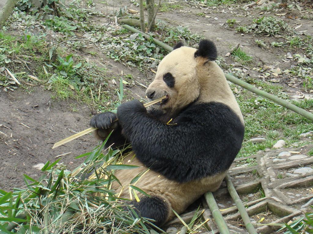 Bi Feng Xia-Centro de Conservación Ya'An-China 11 Patrimonio de la Humanidad Unesco