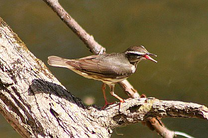 Louisiana Waterthrush by Big Dipper 2 (CC BY-NC-ND)