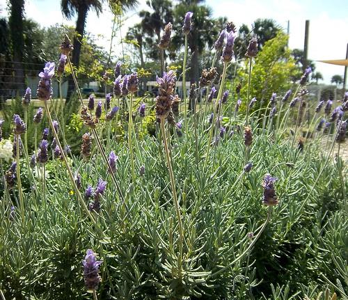 Lavender in the Children's Garden