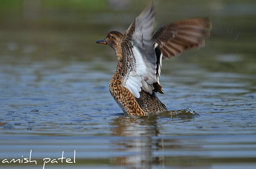 Common teal female flapping