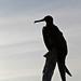 Magnificent Frigatebird in silouhette
